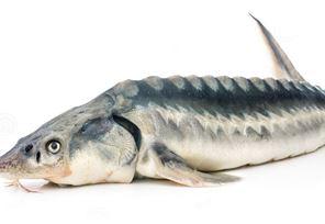 در دنیا حدود 27 گونه ماهی خاویاری وجود دارد که 6 گونه آن در حوزه دریای خزر می باشد. در میان این 6 گونه، فیل ماهی بعنوان بهترین، سریع الرشد ترین و مرغوب ترین ماهی خاویاری دریای خزر و بعضا بعنوان مرغوبترین و گرانترین خاویار جهان مشهور است.
